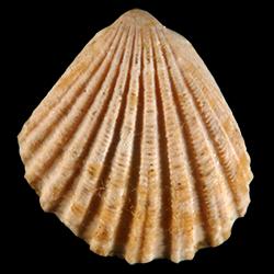 Glycymeris duplinensis