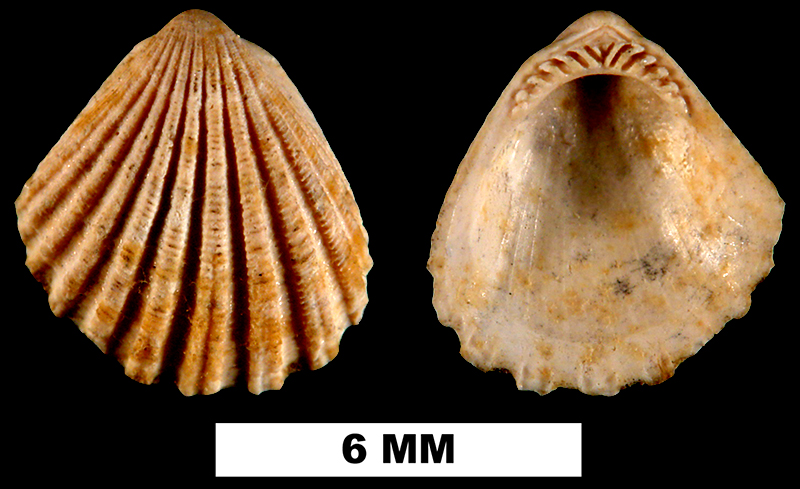 <i>Glycymeris duplinensis</i> from the Late Pliocene Duplin Fm. of Duplin County, North Carolina (UF 206514).
