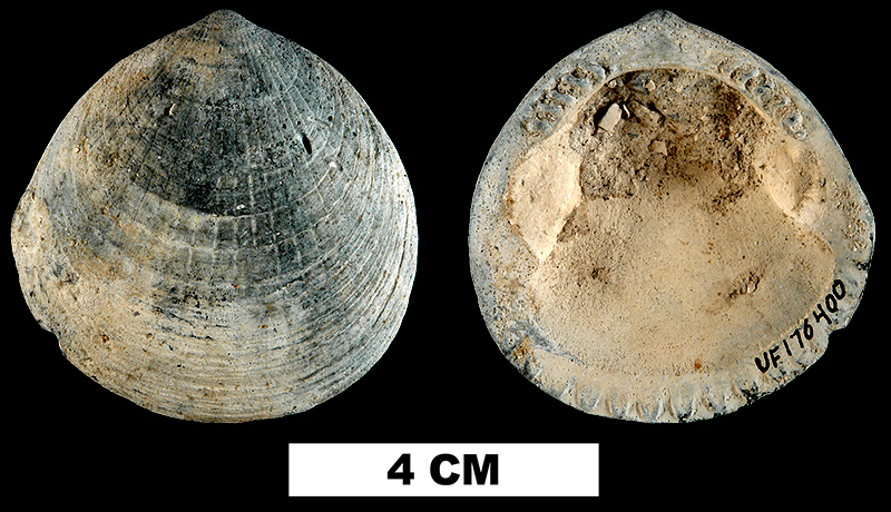 <i>Glycymeris laevis</i> from the Late Pliocene Tamiami Fm. (Pinecrest Beds) of Sarasota County, Florida (UF 176400).