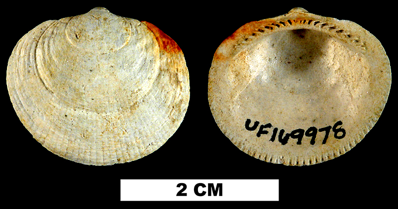 <i>Glycymeris quinquerugata</i> from the Late Pliocene Raysor Fm. of Darlington County, Florida (UF 169978).