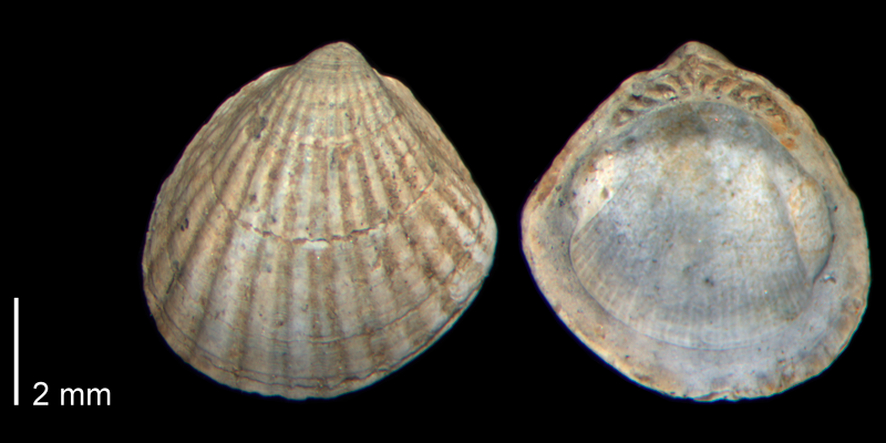 <i>Glycymeris sloani</i> from the Early Pleistocene James City Fm. of Beaufort County, North Carolina (PRI 70516).