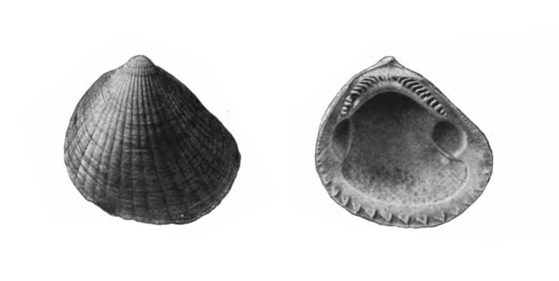 Specimen of <i>Glycymeris waltonensis</i> figured by Gardner (1926, pl. 9, fig. 7 and 8); 35.5 mm in length.