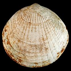 Glycymeris waltonensis