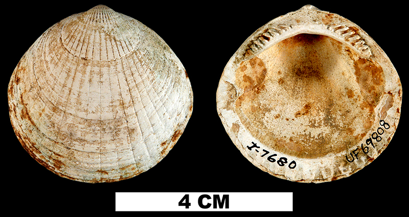<i>Glycymeris waltonensis</i> from the Middle Miocene Shoal River Fm. of Walton County, Florida (UF 69808).