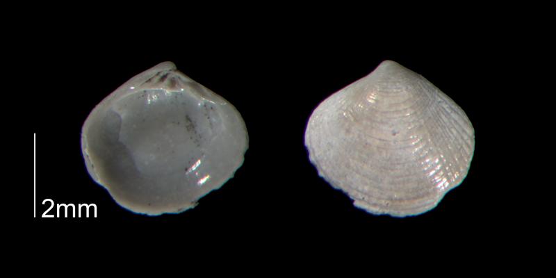 <i>Gouldia metastriata</i> from the Early Pleistocene Waccamaw Fm. of Brunswick County, North Carolina (PRI 70466-2).