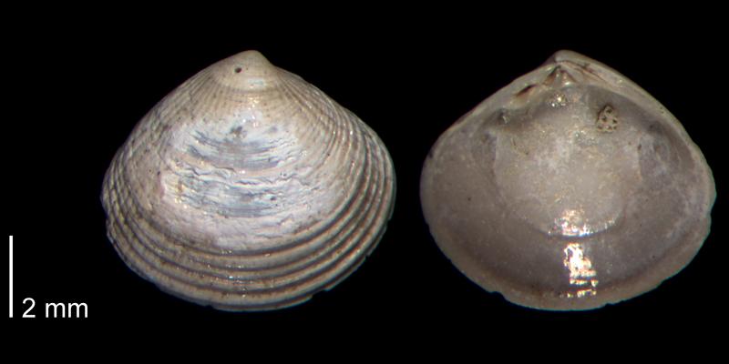 <i>Gouldia metastriata</i> from the Early Pleistocene James City Formation of Beaufort County, North Carolina (PRI 70505-2).