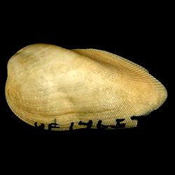 Gregariella