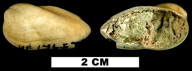 <i>Gregariella coralliophaga</i> from the Middle Pleistocene Bermont Fm. of Palm Beach County, Florida (UF 146571).