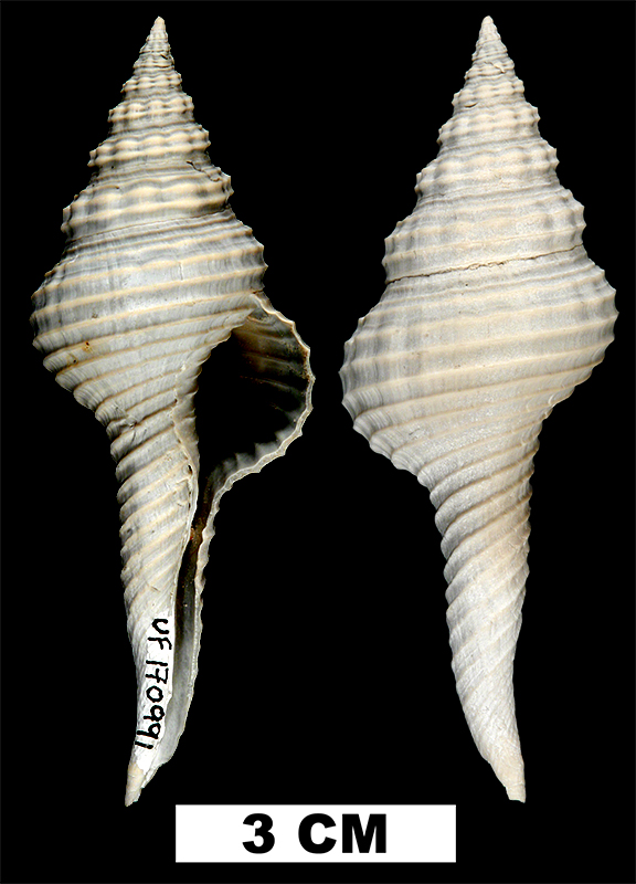 <i>Fusinus caloosaensis</i> from either the Early Pleistocene Caloosahatchee Fm. or Middle Pleistocene Bermont Fm. of Palm Beach County Florida (UF 170991).