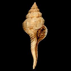 Fusinus carolinensis