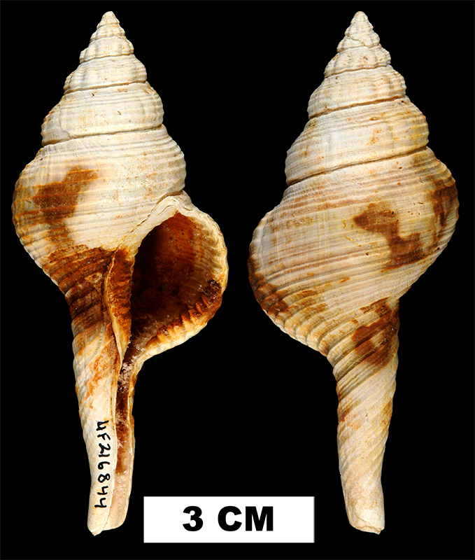 <i>Fusinus equalis</i> from the Late Pliocene Duplin Fm. of Duplin County, North Carolina (UF 216844).