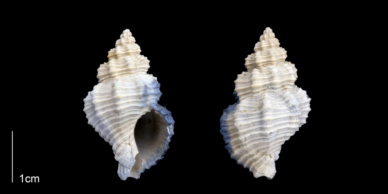 <i>Hesperisternia filicata</i> from the Late Pliocene Tamiami Fm. (Pinecrest Beds) of Sarasota County, Florida (PRI 70260).