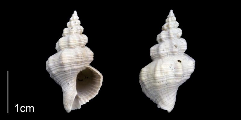 <i>Hesperisternia filicata</i> from the lower Pliocene Tamiami Fm. (Pinecrest Beds) of Sarasota County, Florida (PRI 70288).