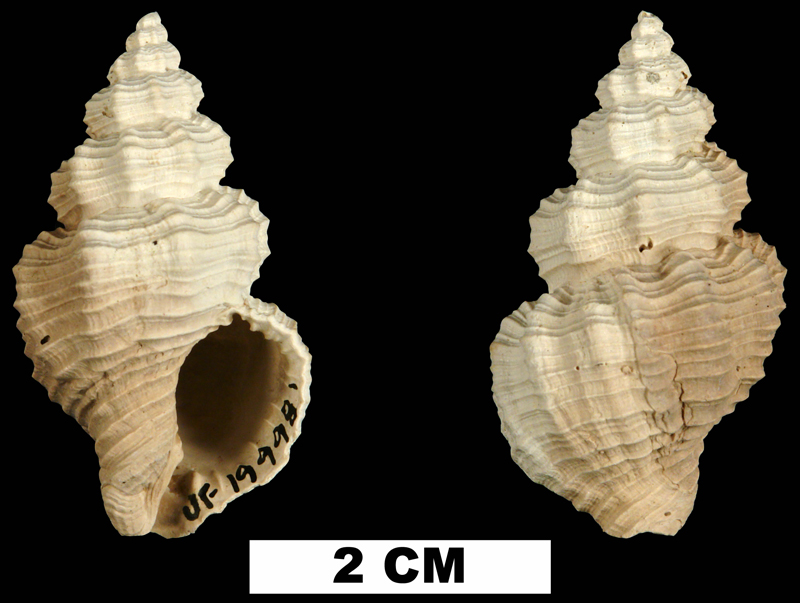 <i>Hesperisternia filicata</i> from the Plio-Pleistocene (formation unknown) of Sarasota County, Florida (UF 199981).