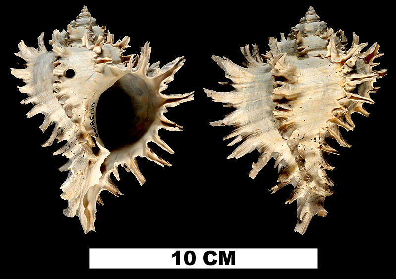 <i>Hexaplex hertweckorum</i> from the Late Pliocene Tamiami Fm. (Pinecrest Beds) of Sarasota County, Florida (UF 138003).
