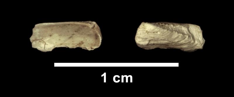 <i>Hiatella arctica</i> from the Late Pliocene Yorktown Fm. of Isle of Wight County, Virginia (SDSM 112591).