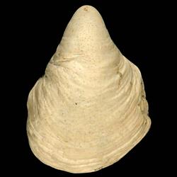 Hipponix floridanus