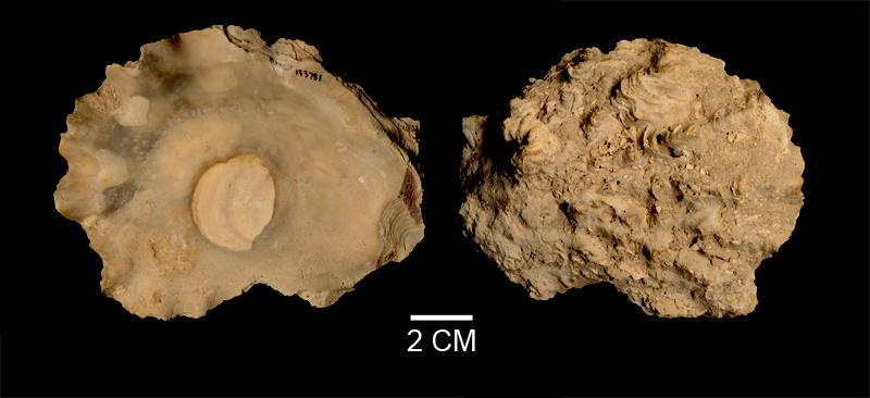 <i>Hyotissa haitensis</i> from the Late Pliocene Tamiami Fm. (Pinecrest Beds) of Sarasota County, Florida (SDSM 133781).