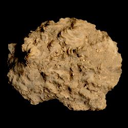 Hyotissa