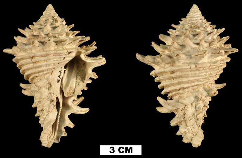 <i>Hystrivasum horridum</i> from the Early Pleistocene Caloosahatchee Fm. of Hendry County, Florida (UF 212409).