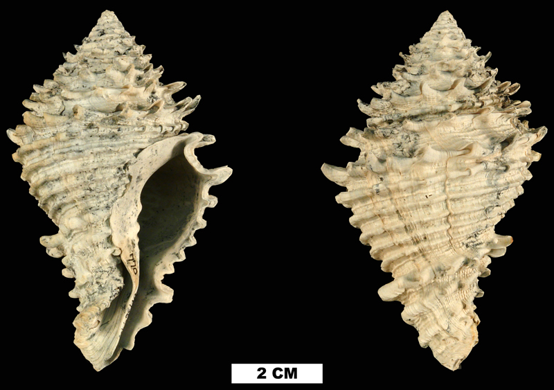<i>Hystrivasum locklini</i> from the Late Pliocene Tamiami Fm. (Pinecrest Beds) of Sarasota County, Florida (UF 136942).