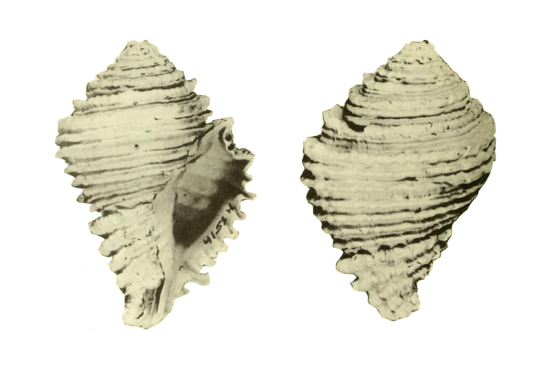 Specimen of <i>Hystrivasum olssoni</i> figured by Hollister (1971, pl. 39, fig. 1 and 4); 81 mm in length.