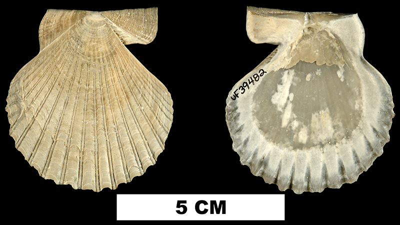 <i>Interchlamys interlineata</i> from the Late Pliocene Tamiami Fm. of Charlotte County, Florida (UF 39482).