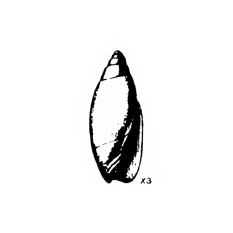 Specimen of <i>Jaspidella cofacorys</i> figured by Gardner (1938, pl. 46, fig. 10); 11.6 mm in length.