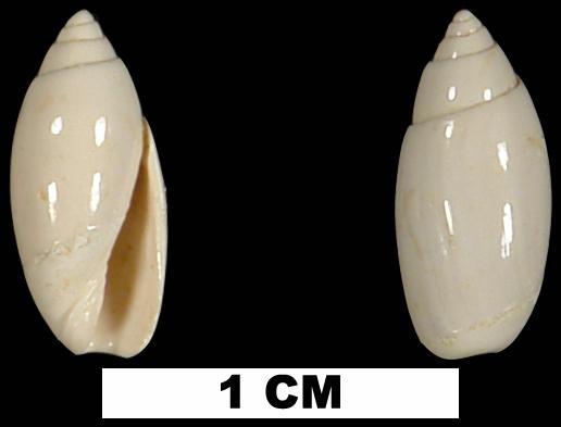 <i>Jaspidella cofacorys</i> from the Early Miocene Chipola Fm. of Calhoun County, Florida (UF 73056).