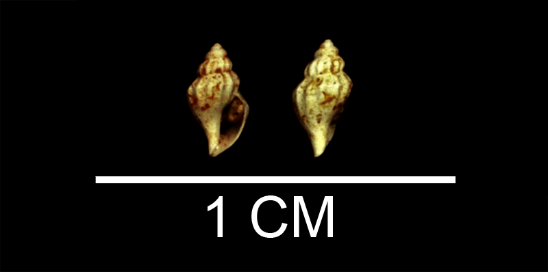 <i>Kurtziella smithfieldensis</i> from the Late Pliocene Yorktown Fm. of Isle of Wight County, Virginia (SDSM 135252).