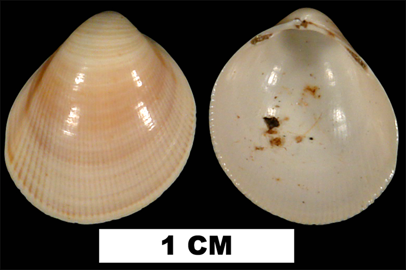 <i>Laevicardium compressum</i> from the Early Miocene Chipola Fm. of Calhoun County, Florida (UF 42508).