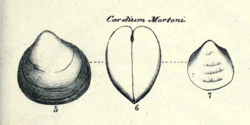 Specimen of <i>Laevicardium mortoni</i> figured by Conrad (1831, pl. 11, fig. 5, 6, and 7).