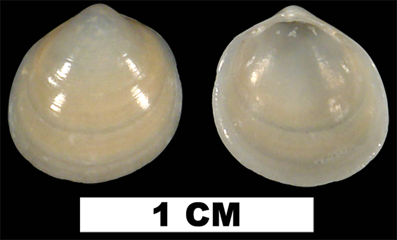 <i>Laevicardium mortoni</i> from the Middle Pleistocene Bermont Fm. of Palm Beach County, Florida (UF 50104).