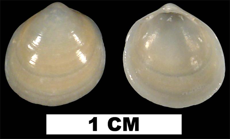 <i>Laevicardium mortoni</i> from the Middle Pleistocene Bermont Fm. of Palm Beach County, Florida (UF 50104).