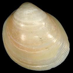 Laevicardium serratum