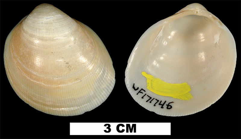 <i>Laevicardium serratum</i> from the Late Pleistocene Anastasia Fm. of Brevard County, Florida (UF 171746).