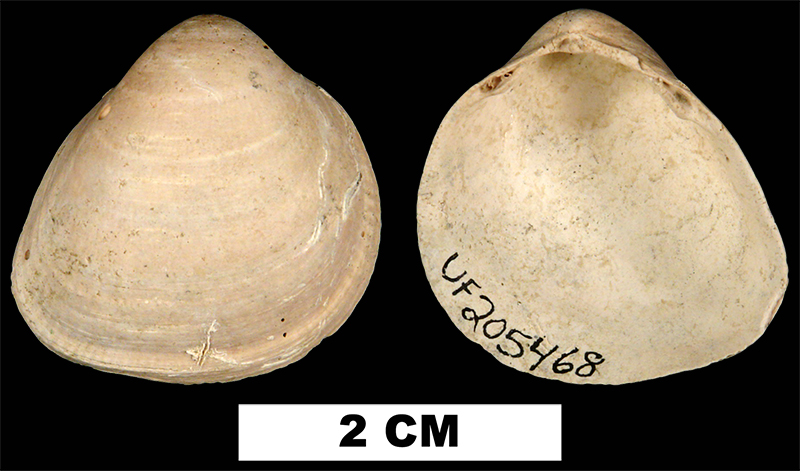 <i>Laevicardium sublineatum</i> from the Early Pleistocene Waccamaw Fm. of Columbus County, Florida (UF 205468).
