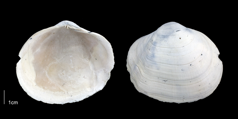 <i>Leporimetis ephippium</i> from the Late Pliocene Tamiami Fm. (Pinecrest Beds) of Sarasota County, Florida (PRI 70091).