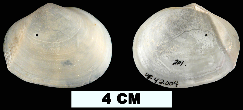 <i>Leporimetis ephippium</i> from the Middle Pleistocene Bermont Fm. of Palm Beach County, Florida (UF 42004).