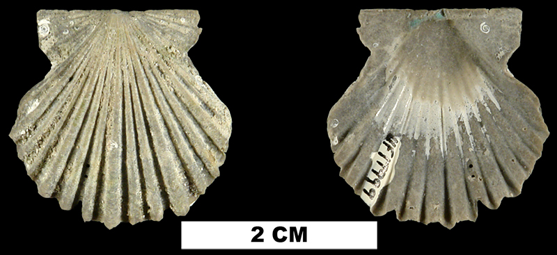 <i>Leptopecten irremotis</i> from the Plio-Pleistocene (formation unknown) of Sarasota County, Florida (UF 17999).