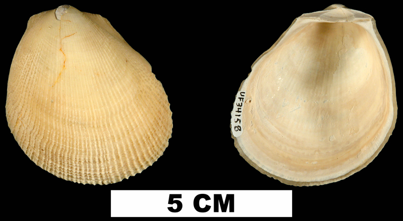 <i>Limaria caloosana</i> from the Plio-Pleistocene (formation unknown) of Sarasota County, Florida (UF 34158).