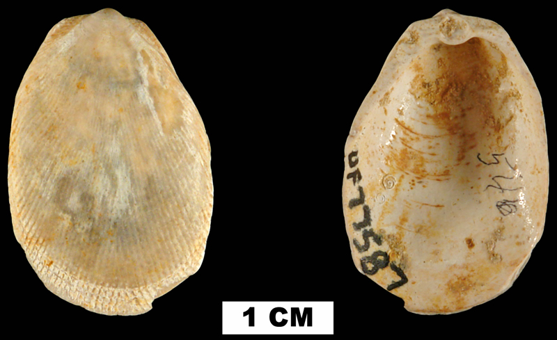 <i>Limaria chipolana</i> from the Early Miocene Chipola Fm. of Calhoun County, Florida (UF 77587).