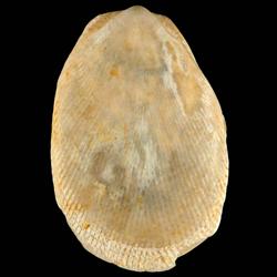 Limaria chipolana