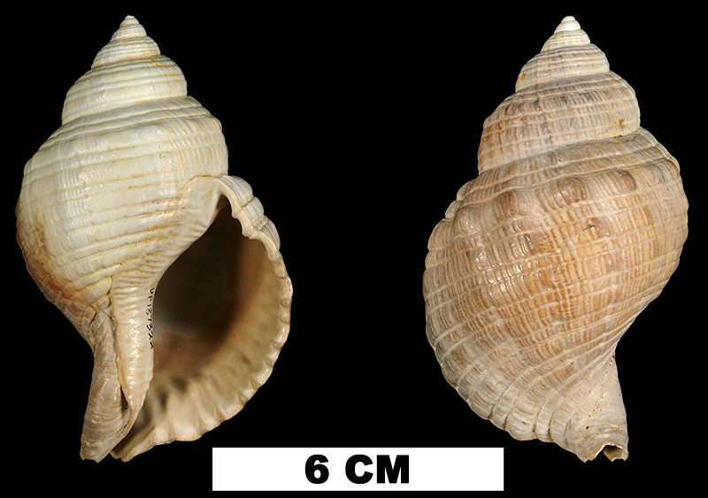 <i>Linatella caudata</i> from the Late Pliocene Tamiami Fm. (Pinecrest Beds) of Sarasota County, Florida (UF 137322).