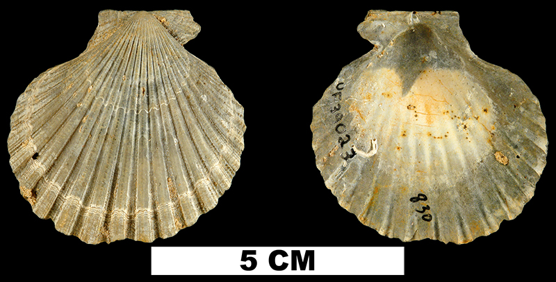 <i>Lindapecten chipolanus</i> from the Early Miocene Chipola Fm. of Calhoun County, Florida (UF 39023).