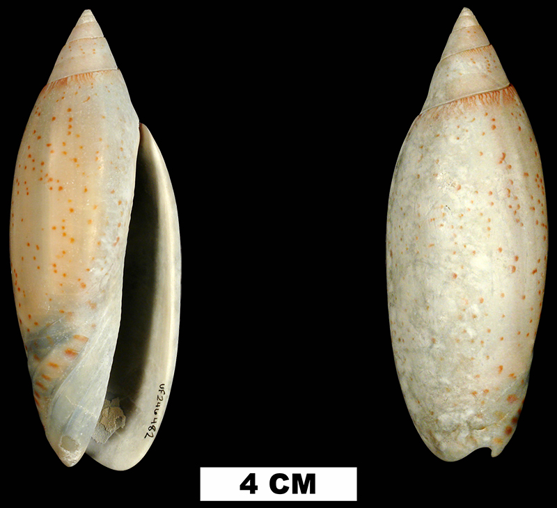<i>Lindoliva diegelae</i> from the Middle Pleistocene Bermont Fm. of Miami-Dade County, Florida (UF 246482).