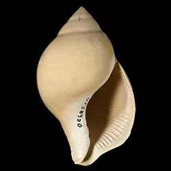 Liochlamys bulbosa
