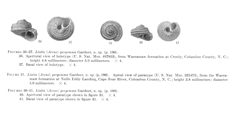 <i>Liotia pergemma</i> from Gardner (1948), pl. 28, figs. 31, 36, 37, 40, and 41. Holotype, USNM 497853; paratype USNM 325475. Waccamaw Formation, Columbus County, North Carolina.