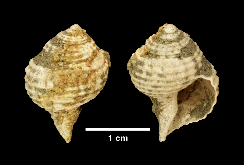 <i>Lirosoma sulcosa</i> from the Late Pliocene Yorktown Fm. of Isle of Wight County, Virginia (SDSM 139686).