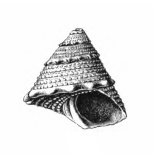 Specimen of <i>Lithopoma chipolana</i> figured by Dall (1892, pl. 18, fig. 6a); 11.5 mm in length.